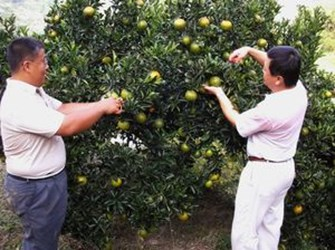 Starting from this Saturday, Dakang Tangerine Farm will be opening for plucking picking fruits. (2008-11-12)