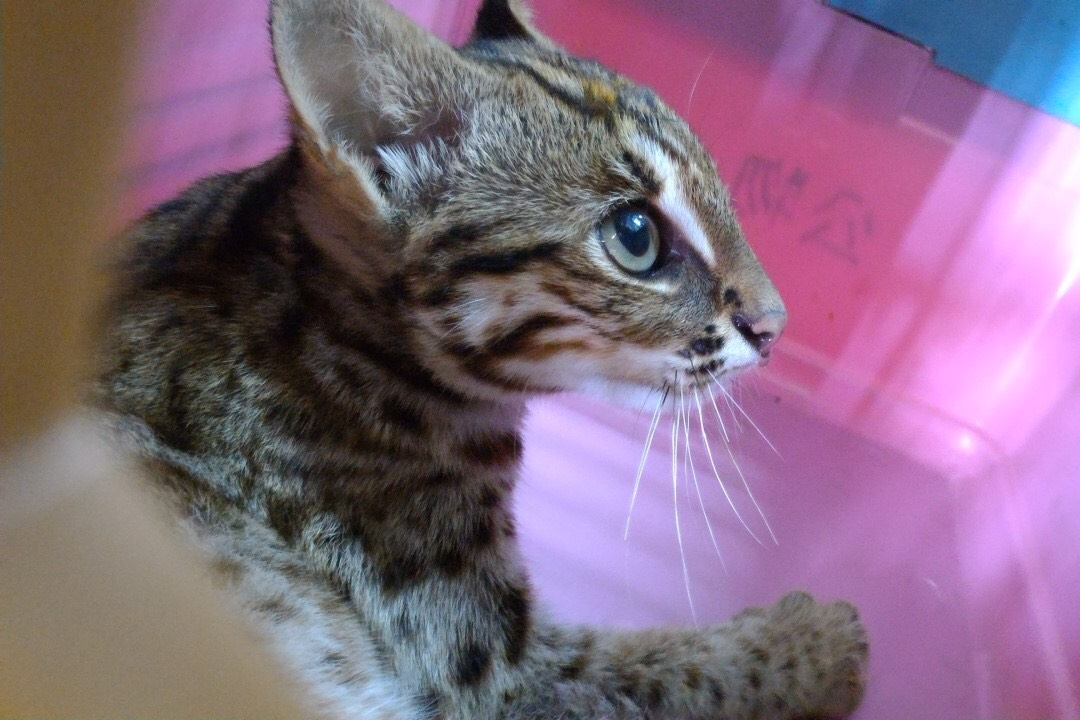 The first developed Leopard cat conservation act regulation  Taichung City has passed the draft of Leopard cat conservation self-governance articles